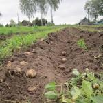 1.монастырский участок. Первый урожай монастырской картошки.