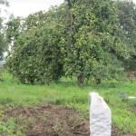 5. монастырский участок. Первый урожай монастырской картошки.
